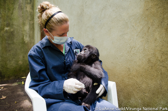 Dr. Dawn with orphaned Grauer's gorilla infant Baraka in DRC.