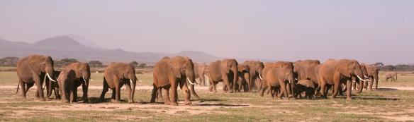 Amboseli elephants on the move. (©ElephantVoices)