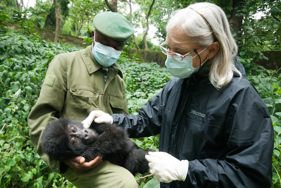 Dr. Jan Ramer examines an orphan infant gorilla at the Senkwekwe Center