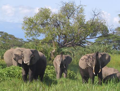 Kilimanjaro elephants (from Tanzania) visiting Amboseli. (©ElephantVoices)