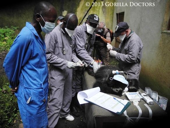 Matabishi's caregiver watches as the Gorilla Doctors conduct the exam.