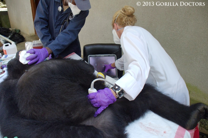 Dr. Dawn examines adult orphan mountain gorilla Maisha at the Senkwekwe Center in DRC.