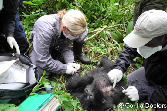 Dr. Dawn works to repair the damage caused by a snare on infant Ngwino in Volcanoes National Park.