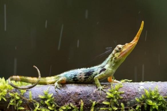 The long-nosed Pinocchio lizard. Photograph by Alejandro Arteaga, tropicalherping.com