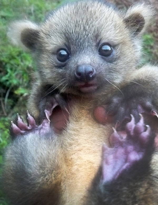 A baby olinguito found in Colombia. Photograph by Juan Rendon