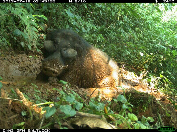 A giant forest hog rests in Kibale National Park. The large cheeks may protect the animal's eyes as it moves through dense brush. Photograph courtesy Rafael Reyna-Hurtado