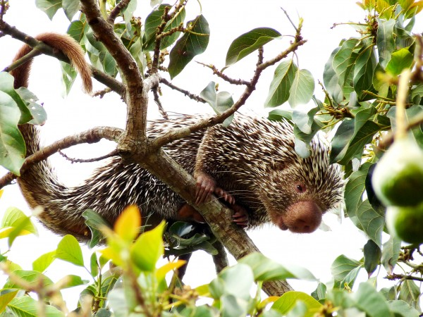 The Coendou porcupines, also known as prehensile-tailed porcupines are nocturnal, herbivorous, solitary rodents native to Central and South America. Photograph by Hugo Fernandes Ferreira.