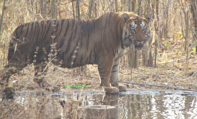The huge king of Kolsa, Shivaji, in southern Tadoba (c) Vijay Paul