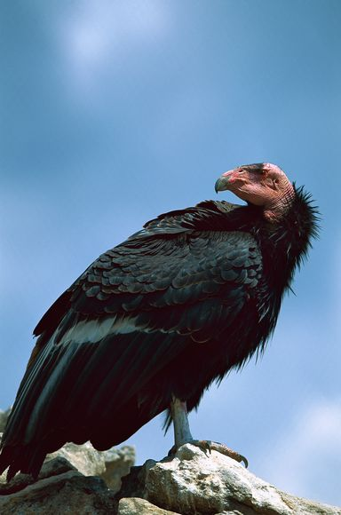 The California condor (pictured) had fallen to fewer than 25 animals. Photograph by Konrad Wothe, Minden Picture/Corbis