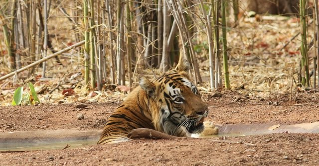 Shivaji - The dominant male from Kolsa range is a hugely impressive tiger. (c) Sriskandh Subramanian