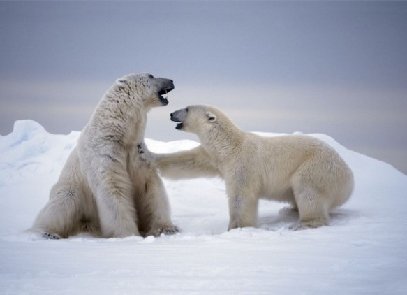 A large male polar bear attempts to mate with a female in Svalbard, Norway. (Photo courtesy of Paul Nicklen)