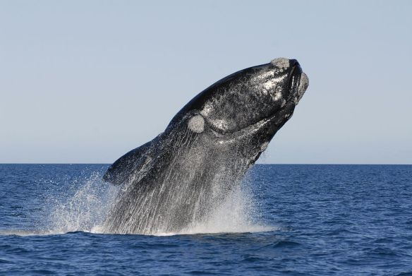 A southern right whale breaching off of Peninsula Valdes, Argentina. Photograph by Gerard Soury, Getty Images