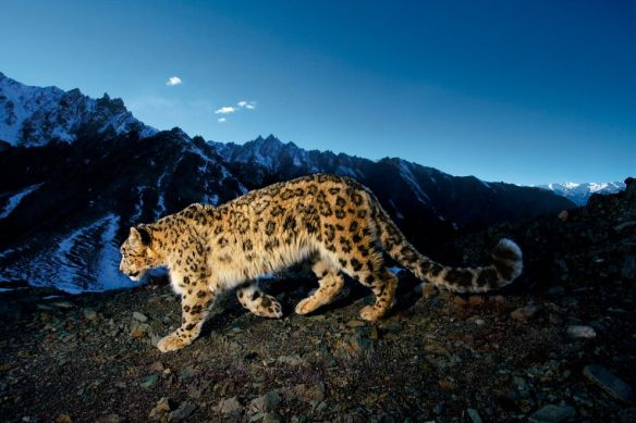 Endangered animals, like this snow leopard in India's Hemis National Park, face mixed outcomes from predator insurance programs. Photograph by Steve Winter, National Geographic