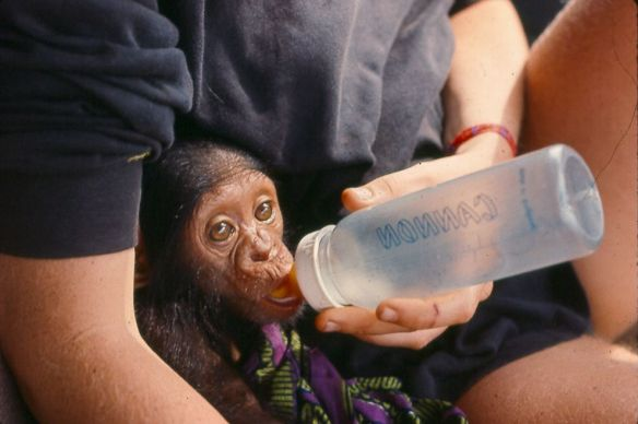 Baby Kobi is fed by Jill Hartman, one of his caregivers in Africa. Photograph courtesy Sidney Morris