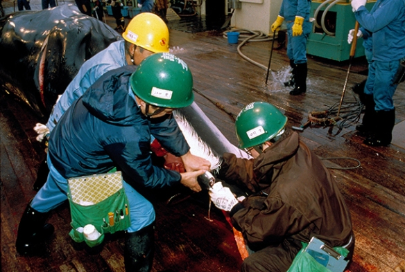 Collecting samples from a harpooned minke whale on the Japanese factory ship Nisshin Maru during a whale hunt in the Southern Ocean Sanctuary. c. IFAW