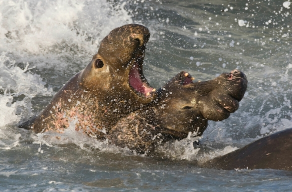 Northern Elephant Seal, Piedras Blancas, San Simeon, CA 02feb200