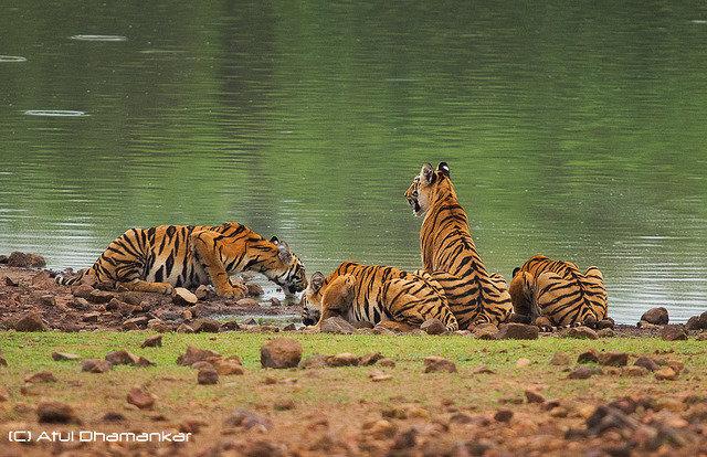 Madhuri's four cubs, Lara, Sonam, Geeta & Mona drink from Telia dam (c) Atul Dhamanker