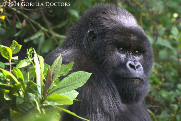 Young silverback Muturengere, the new leader of Isimbi group.