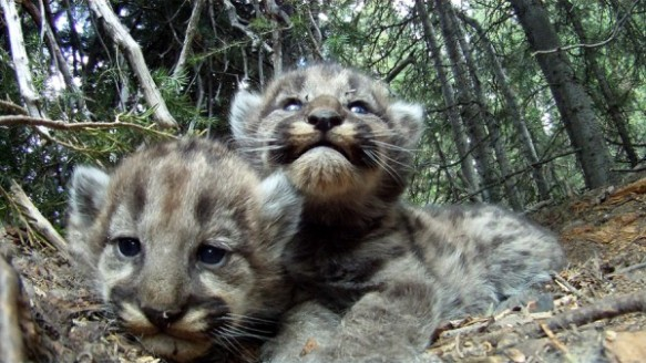 Two of four 3-week old kittens born to F47, an adult female mountain lion in northwest Wyoming. Photograph by Mark Elbroch / Panthera.