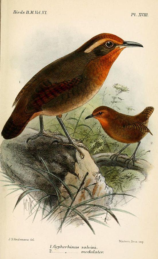 Diferentes subespécies de uirapuru-verdadeiro (Cyphorhinus aradus) – Ilustração John Gerrard Keulemans
