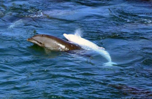 A baby albino dolphin rounded up with others in Taiji Cove, Japan, has already been taken from its mother and could sell for up to $200,000. Sea Sheperd