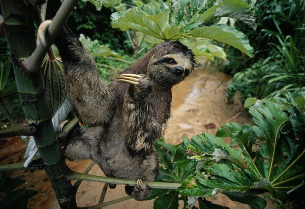 A three-toed sloth hangs out in Madidi National Park, Bolivia. PHOTOGRAPH BY JOEL SARTORE, NATIONAL GEOGRAPHIC.