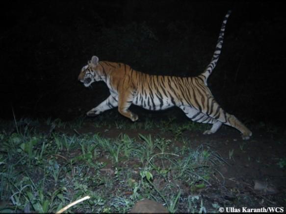 Tiger (Photo by Ullas Karanth/WCS)