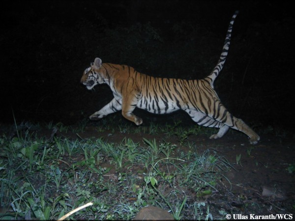 Tiger (Photo by Ullas Karanth/WCS)