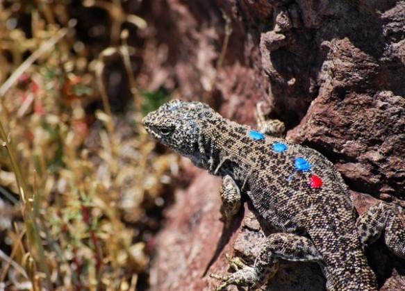 A male L. leopardinus sporting the colored dots that help scientists identify it. Photograph courtesy Enrique Santoyo-Brito