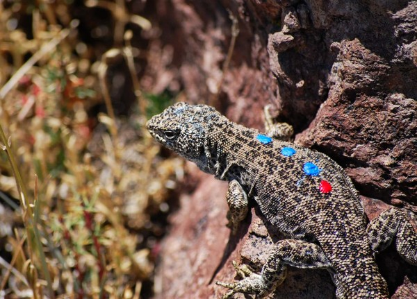 A male L. leopardinus sporting the colored dots that help scientists identify it. Photograph courtesy Enrique Santoyo-Brito