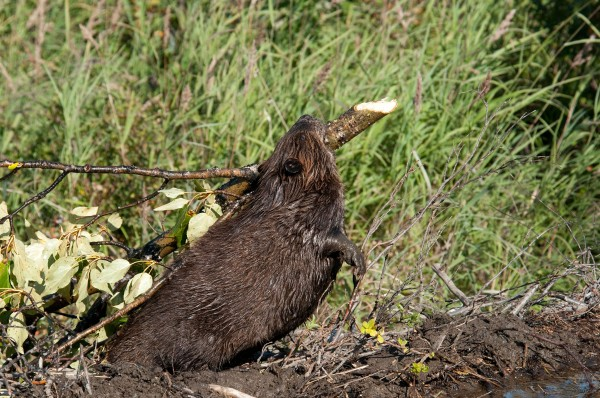 A beaver drags a log at a pond in Denali National Park and Preserve in Alaska. Photograph by Alaska Stock, Alamy