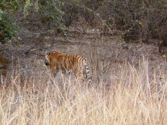 The female cub (T73 or T74),one of the orphans of Satra (T17- daughter Machali) in Bagda area this evening on zone 5....thank to God that they all are safe (C) Yadvendra Singh Reserve: Ranthambhore, Rajasthan