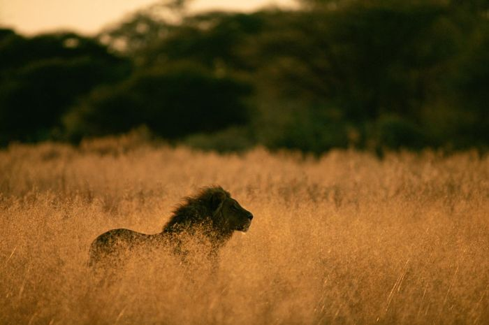 Lions in South and East Africa, like this male cat in Botswana, are better known than their cousins in West Africa, which tend to be smaller and are now highly endangered. Photograph by Pete Oxford, Nature Picture Library/Corbis