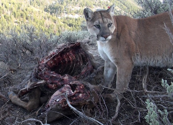 F61, an adult female mountain lion, standing over the carcass of an adult cow elk she successfully killed at the tale end of last winter. (Photograph by Mark Elbroch/Panthera)
