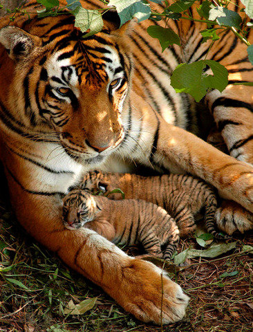 Newly born Bengal tiger cubs whose eyes have not yet open (c) Alamy picture library