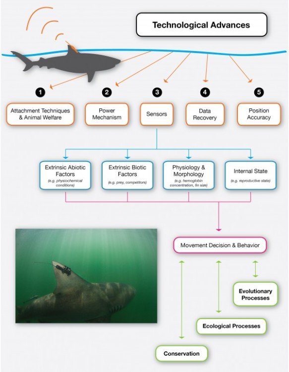 Conceptual diagram evaluating the effects of improvements and developments in electronic tag design, technology and application for understanding the mechanisms and consequences of marine animal movement decisions and behavior. The inset photo on the bottom left of the figure shows a bull shark with a fin-mounted satellite tag. The tag transmits when the shark's fin surfaces