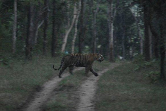 Sula patrolling her territory at dusk (c) Karun Verma