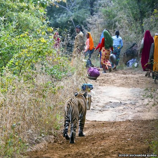 Forest guards and workers give way to a tiger inside India's Ranthambhore national park