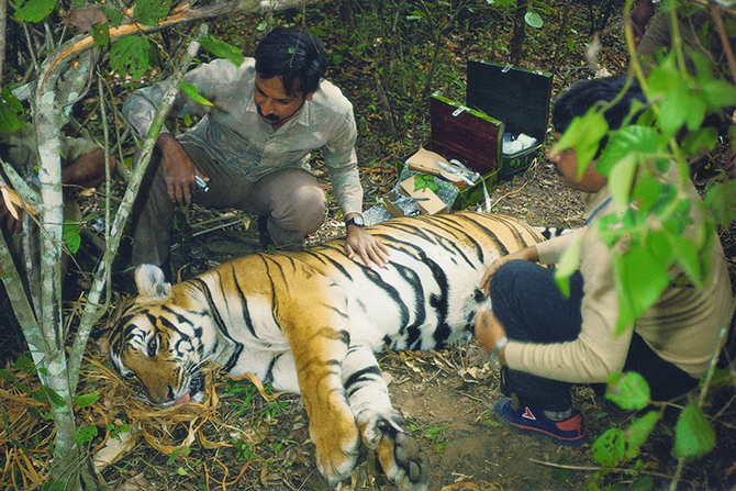 A young Ullas Radio-collaring a Tiger in the 90s. ©WCS