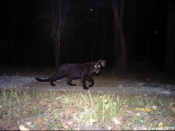 Black Leopard (Photo by Ullas Karanth/WCS)