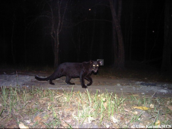 Black Leopard (Photo by Ullas Karanth/WCS)