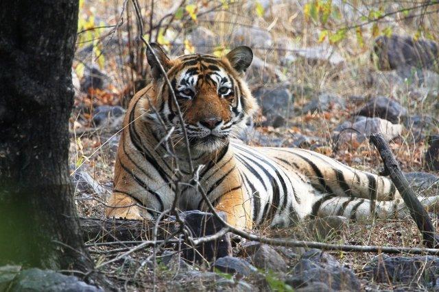 Sultanpur (T 24 OR USTAD) on zone 2 ...was enjoying his Sambhar's kill... (C) Yadvendra Singh