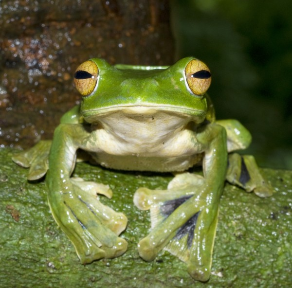 Helen's flying frog was found in a lowland forest in southern Vietnam. Photograph by Jodi Rowley, Australian Museum