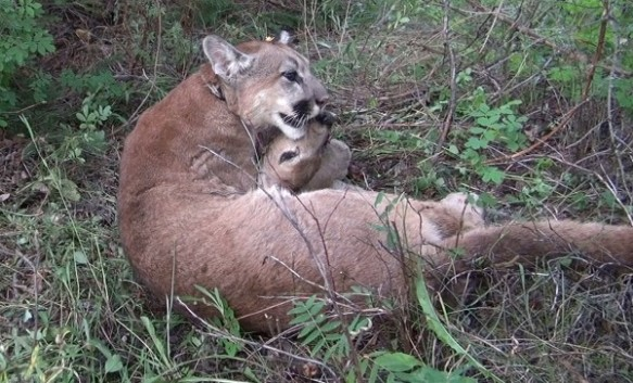 M80, a young male cougar, practicing his choke hold on a mule deer fawn carcass. (Photograph by Mark Elbroch/Panthera)