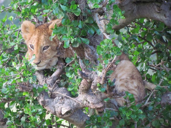 Lost cub up a tree — photo by Moses Manduku