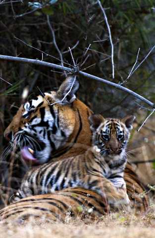 A mother tends her baby cub, now beginning to explore their surroundings under their mother's gaze. (c) Kedar Bhide