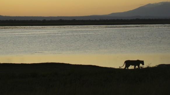 A lioness with Mt. Gorongosa rising above Lake Urema and its floodplains. (Photograph Adolfo Macadona)