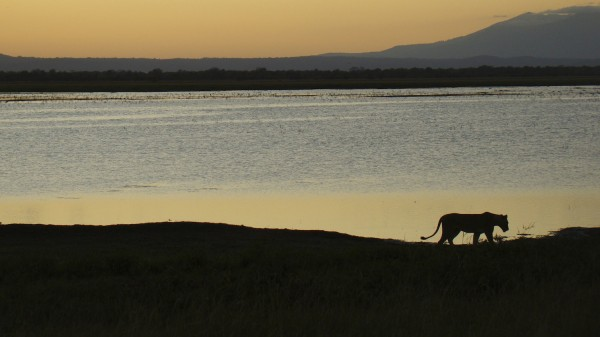 A lioness with Mt. Gorongosa rising above Lake Urema and its floodplains. (Photograph Adolfo Macadona)