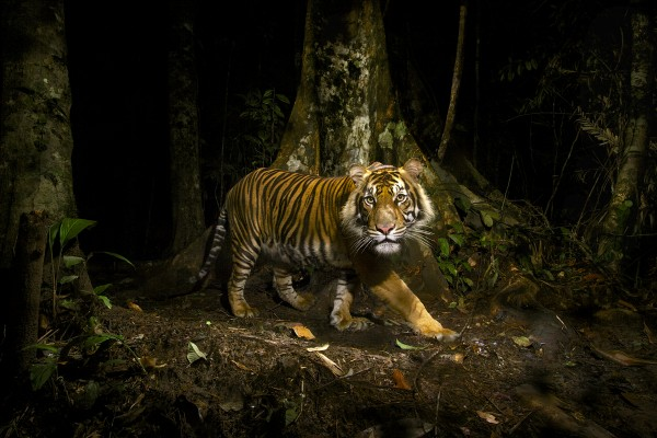A Sumatran tiger peers at a camera trap it triggered while hunting in the early morning in the forests of northern Sumatra, Indonesia. (Photograph by Steve Winter/National Geographic)