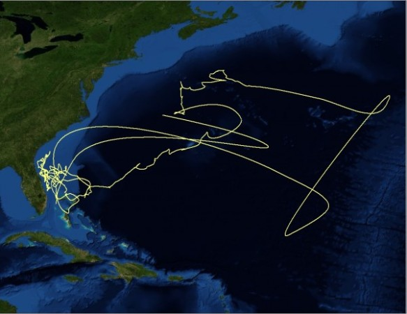 Amazing migration of a tiger shark tagged in the Bahamas by our team. This shark traveled as far as 8,000 km round trip, spanning an area of 1 billion football fields. Track the movements of our tagged sharks through an interactive Google Earth map: http://rjd.miami.edu/education/virtual-learning/tracking-sharks